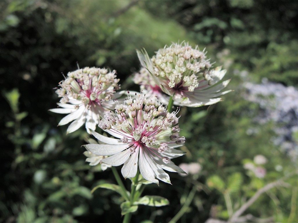 DSCN0903-2-Astrantia-major-1024x768
