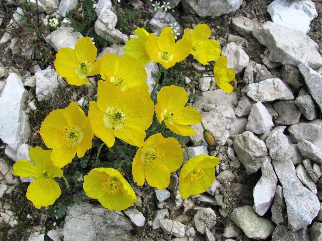 Dolomity-4.-6.8.2009-184-Papaver-alpinum-rhaeticum-2-1024x768