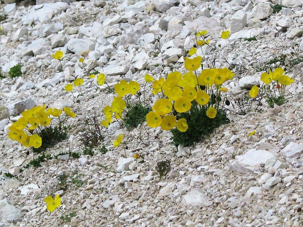 Dolomity-4.-6.8.2009-211-Papaver-alpinum-rhaeticum-2-1024x768