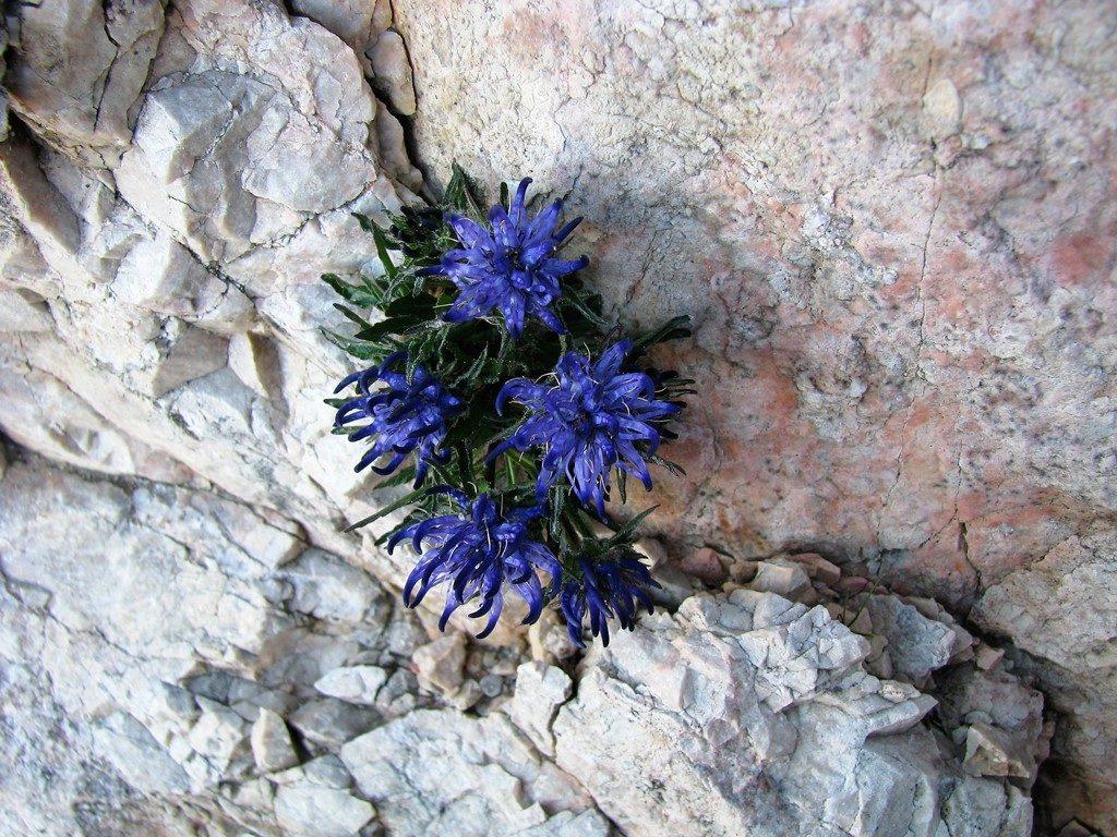 Dolomity-4.-6.8.2009-613-Phyteuma-orbiculare-2-1024x768
