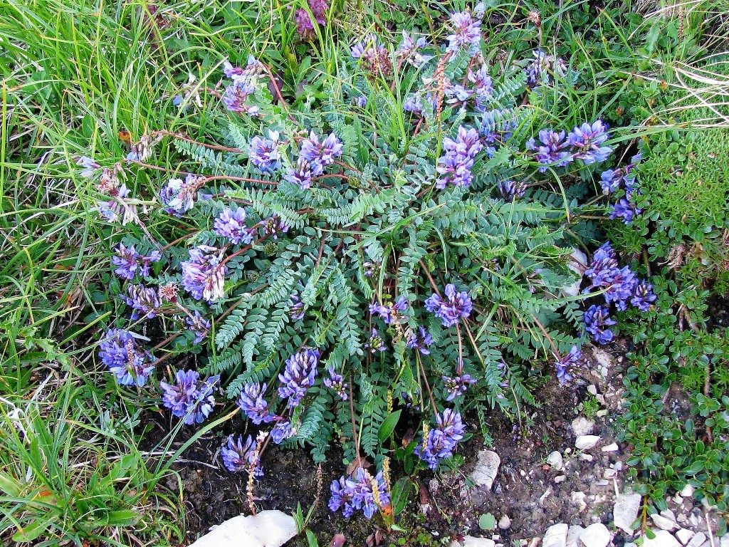 Dolomity-4.-6.8.2009-628-Astragalus-leontinus-2-1024x768