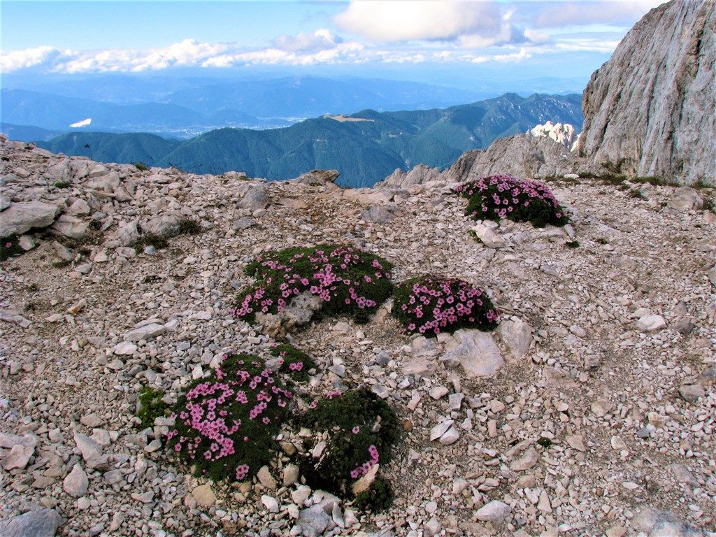 Potentilla nitida - Julské Alpy