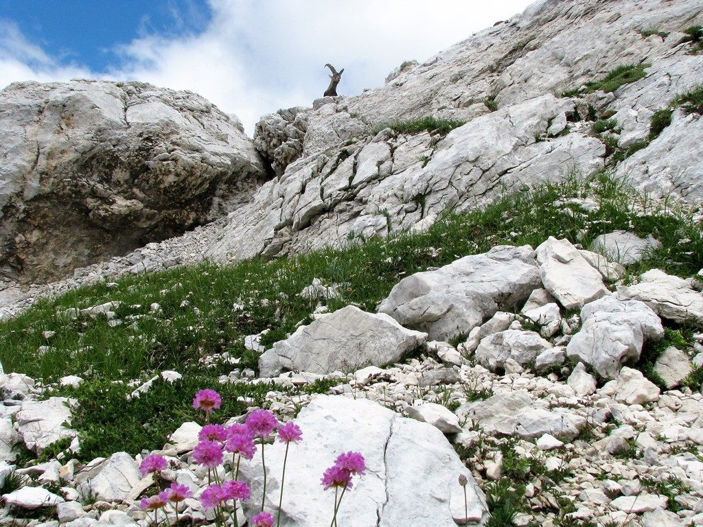 Julské-alpy-27.-31.7.2010-372-2-Armeria-alpina-1024x768