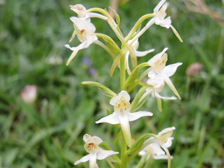 Pyreneje-Francúzske-Alpy-júl-2013-309-3-Platanthera-bifolia