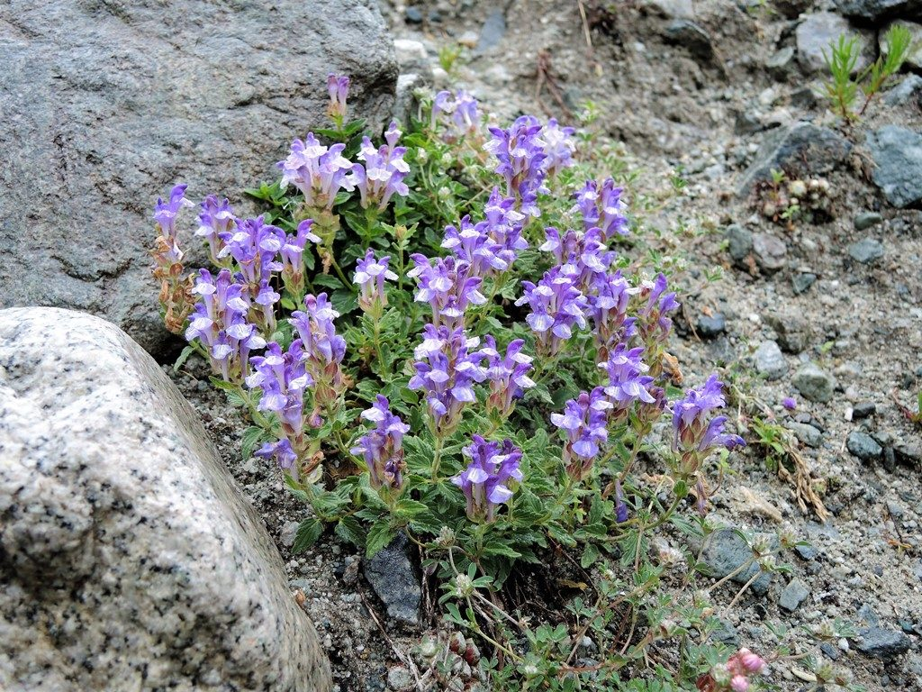 Pyreneje-Francúzske-Alpy-júl-2013-624-2-Scutellaria-alpina-1024x768
