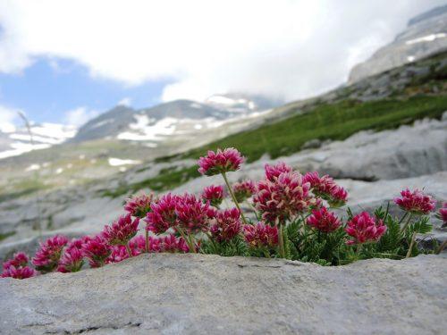 Anthyllis montana - Pyreneje