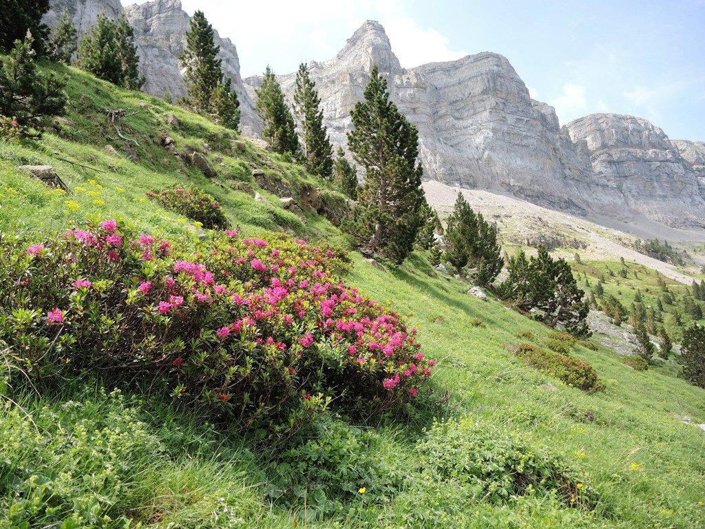Pyreneje-júl-2013-1370-2-Rhododendron-ferrugineum-1024x768