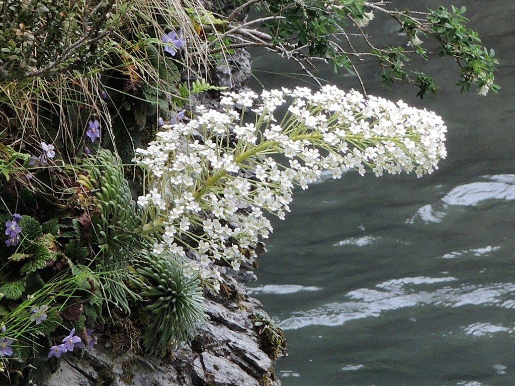 Saxifraga-longifolia-Pyreneje-2-1024x768