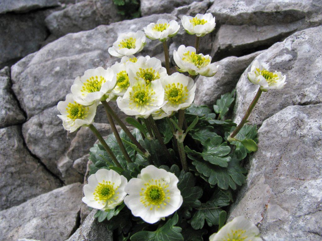 Schneeberg-jún-2011-109-2-Ranunculus-glacialis-1024x768