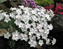 """Dianthus gratianopolitanus """"La Bourboule Alba"""""""