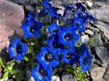 """Gentiana acaulis """"Undulatifolia"""""""