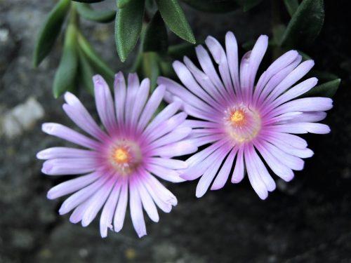 "Delosperma ""Lavender"""