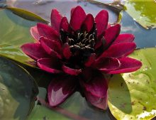 """Nymphaea """"Almost Black"""