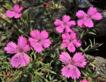 Dianthus haematocalix ssp.pindicola