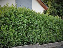 Prunus laurocerassus