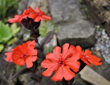 "Lychnis arkwrightii ""Orange Gnom"""