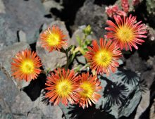 "Delosperma ""Fire Wonder"""