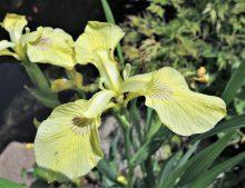 """Iris pseudacorus """"Krill"""""""