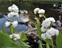 "Sagittaria sagittifolia ""Flore PLeno"""