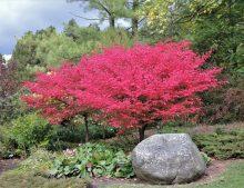 """Acer palmatum """"Atropurpureum"""" - javor dlaňovitolistý """"Atropurpureum"""""""