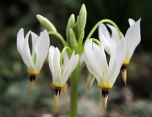 "Dodecatheon meadia ""Album"""