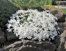 """Dianthus arenarius Little Maiden - klinček piesočný """"LIttle Maiden"""""""