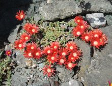 "Delosperma ""Brick Red Dragon"""