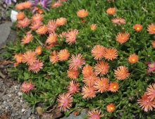 "Delosperma ""Sunset"""
