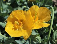 Glaucium flavum - rohatec žltý