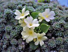 """Primula x pubescens """"Beverly White"""""""