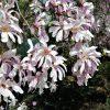 """Magnolia stellata """"Leonard Messel"""""""