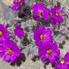 Montiopsis sericea