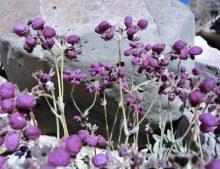 Calceolaria arachnoidea