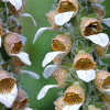 Digitalis lanata