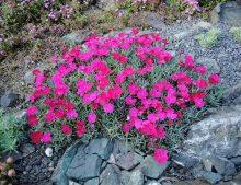 """Dianthus """"Badenia"""""""