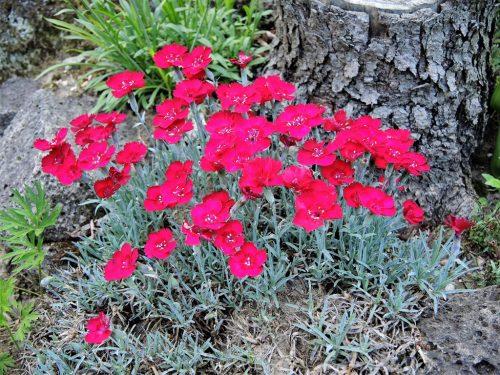 """Dianthus gratianopolitanus """"Rubín"""""""