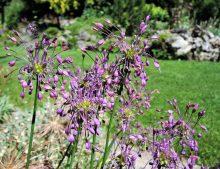 Allium carinatum susp. pulchellum