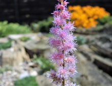 "Astilbe chinensis ""Pumila"""