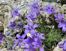 Edraianthus dinaricus