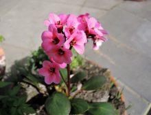 "Bergenia cordifolia ""Flirt"""