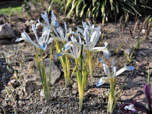 "Iris reticulata ""Frozen Planet"""