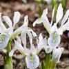 """Iris reticulata """"Polar Ice"""""""