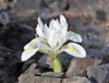 Iris reticulata 'Polar Ice'