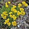 Saxifraga x elisabethae 'Foster's Gold'