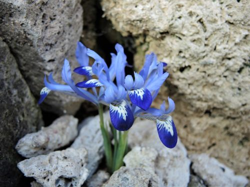 Iris reticulata 'Clairette'