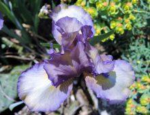 Iris barbata Nana 'Music Box'
