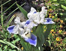 Iris barbata Nana 'Boo'