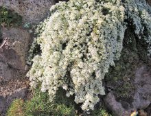 Aster ericoides 'Snow Flurry'