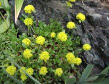 Oriogonum ovalifolium