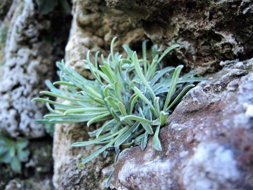 "Saxifraga callosa var. australis ""Lantoscana"""